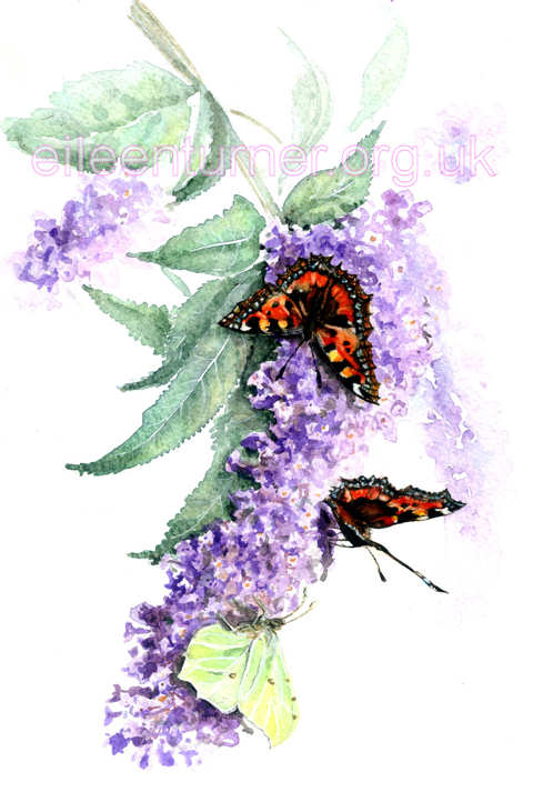 Tortoiseshells and a Brimstone on Buddleia